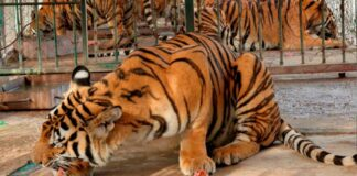 Tiger farms to be phased out in Laos