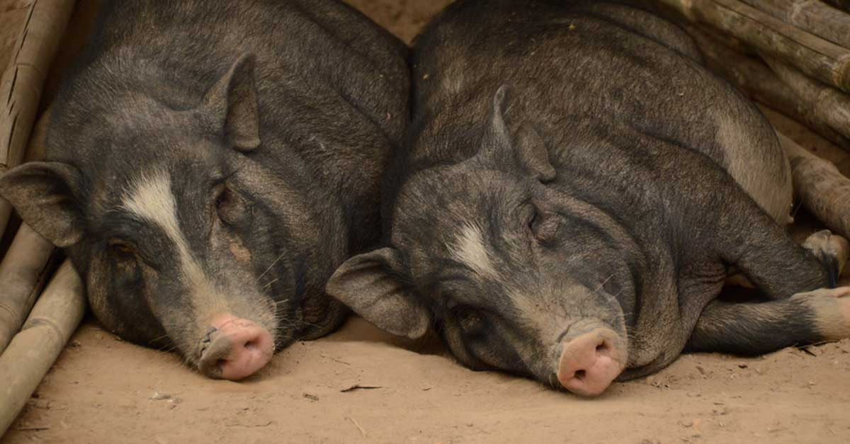China and Thailand Ban Pig Imports from Laos