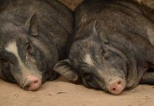 African Swine Fever outbreak in northern Laos