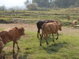 China bans cattle imports from Laos